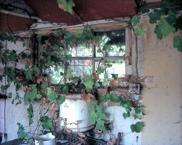 This ivy in the kitchen had grown THROUGH the window putty into the building!